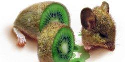 Kiwi OGM